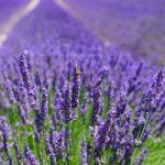 The many uses of lavender!