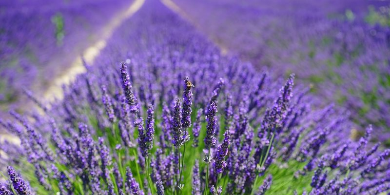 Lavender uses