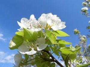 Pear flower