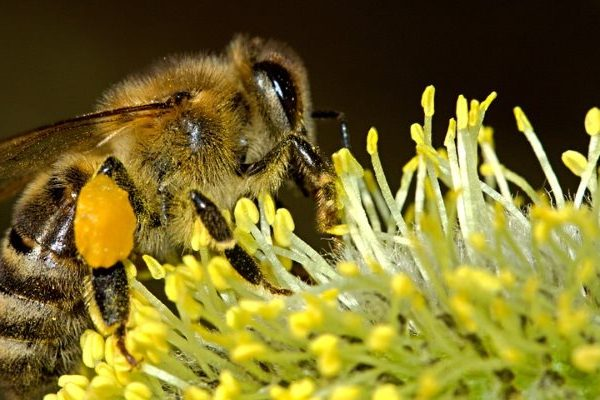 Bee pollen cosmetic uses