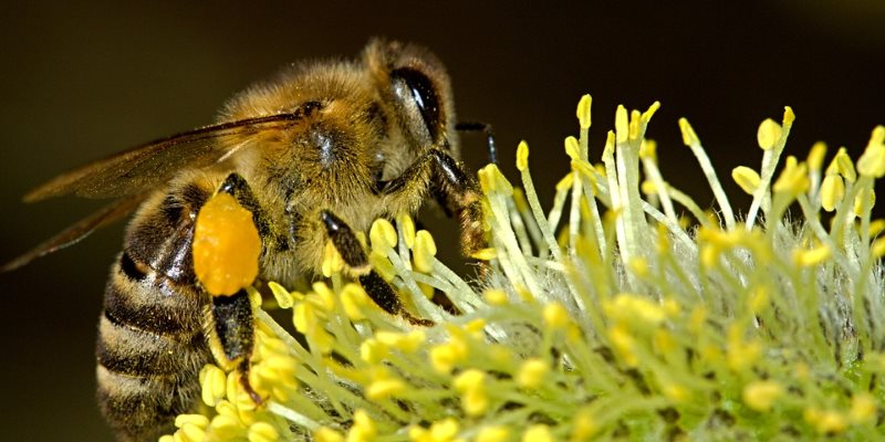Las propiedades cosméticas de polen de abeja!