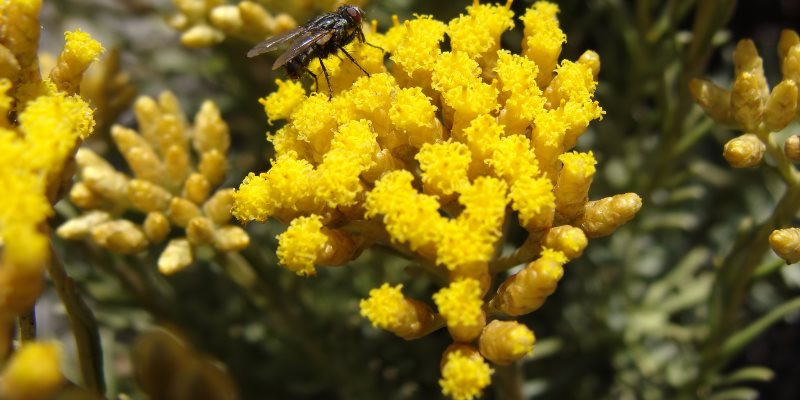 Helichrysum nutritional value and collection
