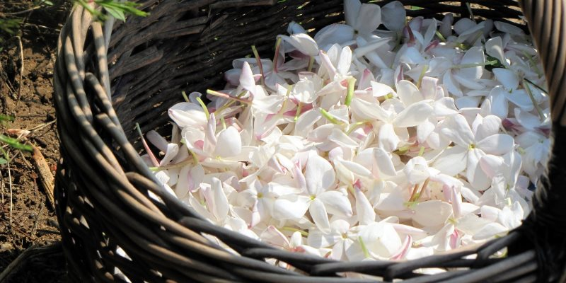 Anti-aging herbs, jasmine at cosmetics