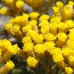 Helichrysum for skin regeneration and hydration!