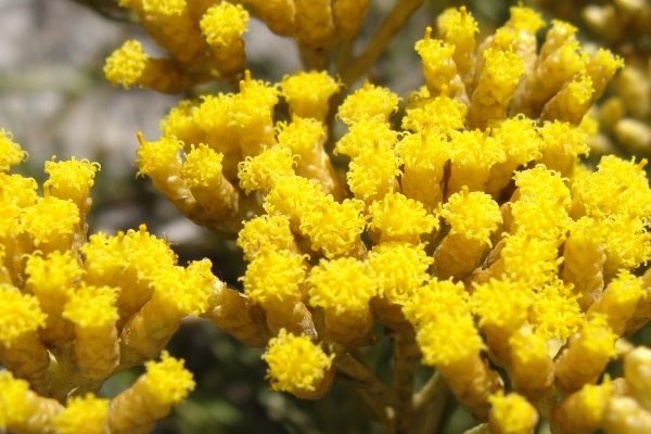 Helichrysum at cosmetics