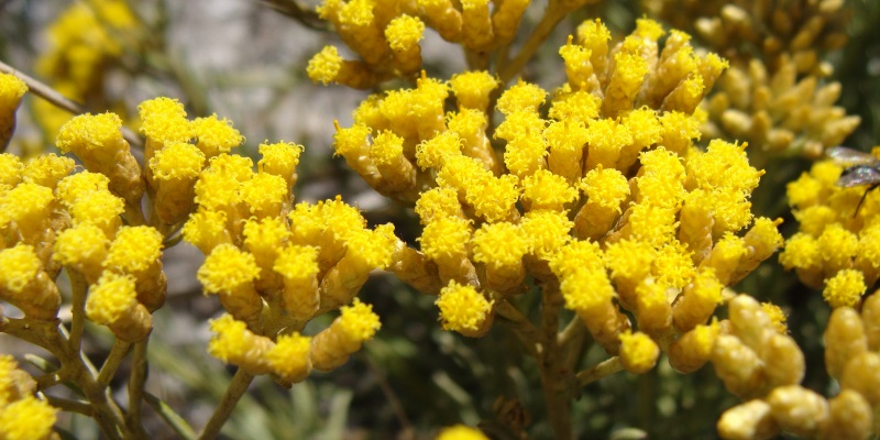 Ελίχρυσος – Helichrysum Italicum