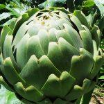 A few words about the artichoke!