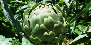 Artichoke nutritional value