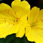 Evening Primrose for beautiful skin