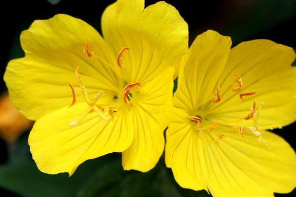Evening primrose at cosmetics