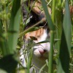 Η μαγευτική επίδραση της νεπέτας στις γάτες