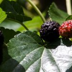 Mulberry, collection & nutritional value