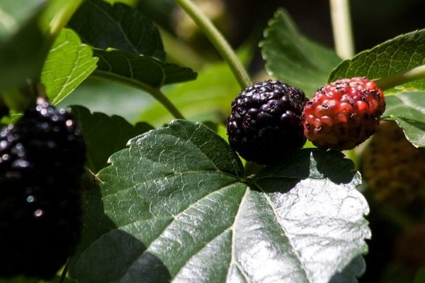 mulberry nutritional value