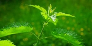 Herbs for treating diabetes