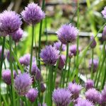 Chives Nutrients & Cultivation