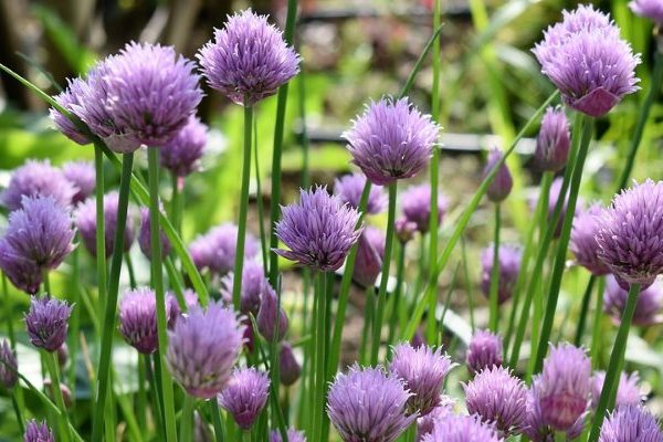 Chives nutritional value