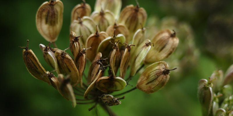 anise seed nutritional value