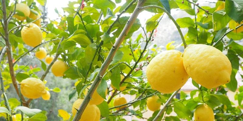 lemon nutrional value