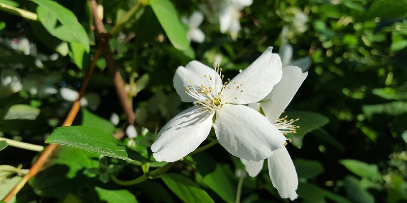 jasmine harvesting