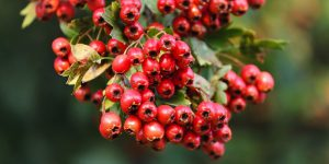 hawthorn health benefits