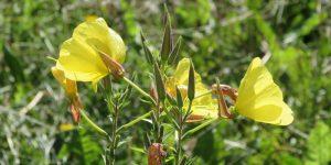 evening primrose health benefits