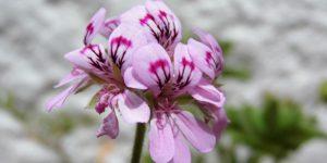 rose geranium cosmetic properties