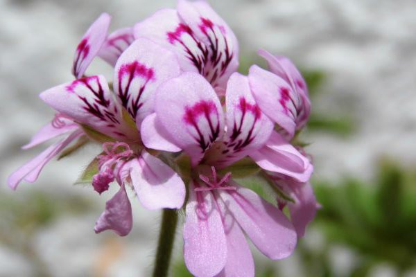 rose geranium cosmetic properties