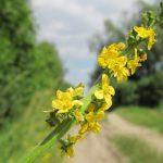 Αγριμόνιο – Agrimonia Eupatoria
