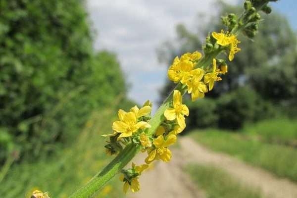 agrimony health benefits