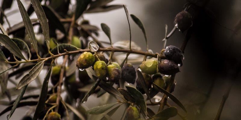 Αφιέρωμα στην ελιά – μέρος 1ο ιστορία, ποικιλίες, διατροφική αξία