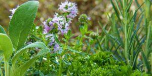 antiseptic herbs