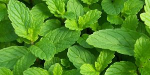 spearmint at cosmetics