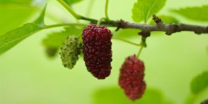 mulberry health benefits