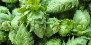 hops medicinal uses