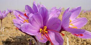 saffron - azafran